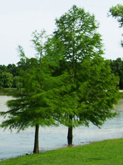 Types of Cypress Trees